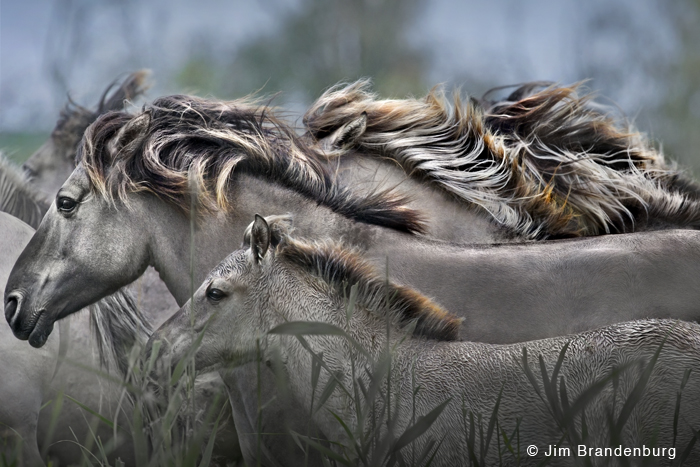 Wild Konic Horses
